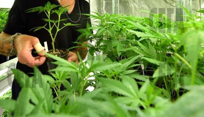 Поставщик марихуаны курю коноплю и никого не люблю