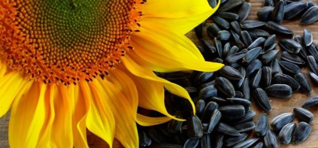 Семена подсолнуха, выращенного по правильной технологии
