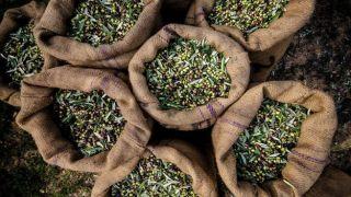 Греция теряет позиции ведущего экспортера оливкового масла.