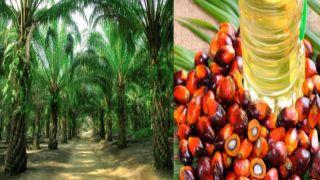 «Пальмовая» беда