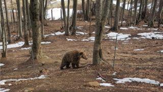 Греция: от зимней спячки проснулись медведи