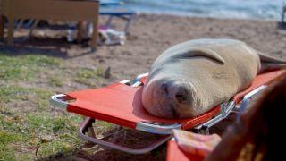 Самка тюленя Мелина вернулась в Лагониси
