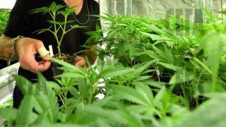 Албания основной поставщик марихуаны в ЕС