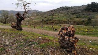 Мигранты на Лесбосе сожгли более 5000 оливковых деревьев