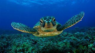 Черепахи Каретта-каретта лучше размножаются в отсутствие туристов