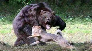 Медведь серьезно ранил местного жителя