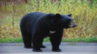 США: таинственная смертельная болезнь медведей барибалов