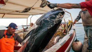 Рыбаки из Наксоса поймали 300 килограмм тунцов