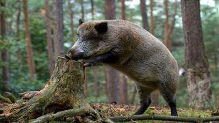 Молодняк диких кабанов резвится на природе