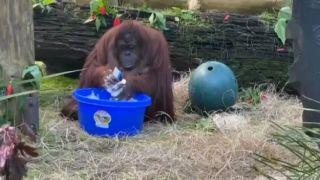Орангутанг тоже опасается коронавируса