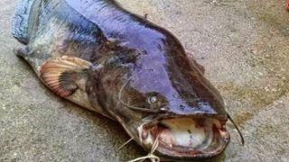 Огромный сом пойман в греческом озере Пластира