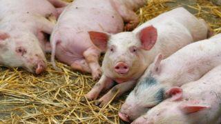 Греция: Усиление ветеринарной службы в связи с борьбой с африканской чумой у свиней