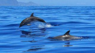 Стая дельфинов у берегов Закинфа