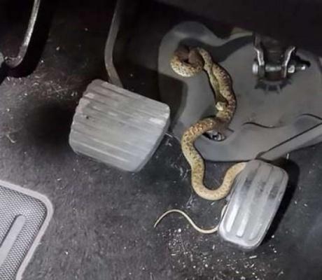 4 змеи обнаружила женщина в своем автомобиле!