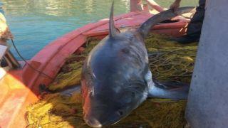 Шикарный улов: поймана акула весом 100 кг!