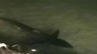 Огромная акула...в водах Лутраки!