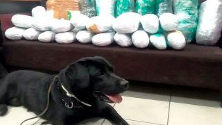 Греческая полиция опубликовала видео как собака находит наркотики