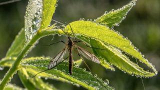 Генетика: Комаров... кастрируют!