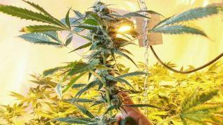 Греция: Разрушена схема производства высококачественной марихуаны