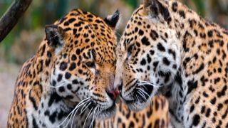 Греция: В зоопарке уничтожили двух ягуаров