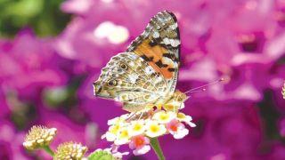 Миллиарды бабочек пролетают в эти дни через Кипр