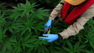 Раскрыта преступная деятельность по «научному» выращиванию конопли