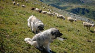 Овчарки покусали туристов из Германии