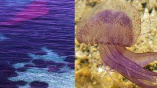 Лиловые медузы - опасная красота