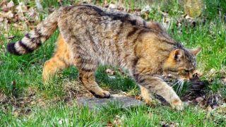 "На Крите поймали ""легендарную"" дикую кошку"
