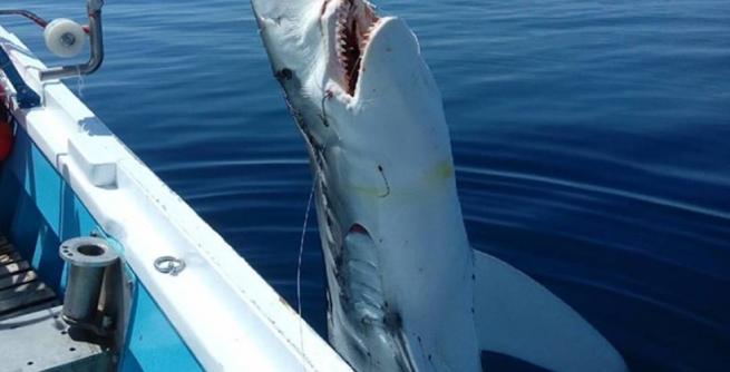 ВЭгейском море рыболовы словили семиметровую белоснежную акулу