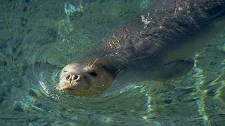 Средиземноморский тюлень-монах больше не находится на грани исчезновения